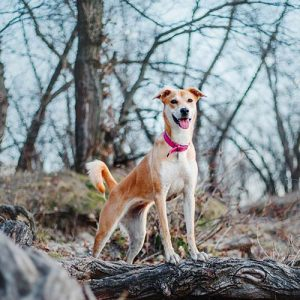 A dog looks happily from a log at a dog park on a walk with their dog walker in Portland Oregon