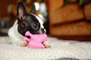 A cute frenchie chews on a toy with their dog sitter