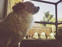 Cute dog Vera looks out the window with her dog walker and pet sitter