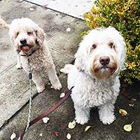 Bear and Brigetta are two dogs who love Hot Diggity's dog walking service in Portland