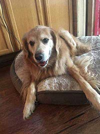 A senior dog happily lays on his dog bed, happy to be home with his pet sitter instead of at a dog boarding facility