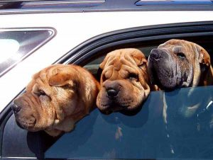 Three wrinkly sharpeis stick their heads out of a car, they use Hot Diggity! for pet taxi services in Portland, Oregon