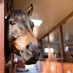 A horse looks out from the stall, we pet sit for farm animals too in the Portland area!