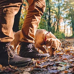 A dog out on a walk with their dog walker in the forest sniffs the floor. Way better than going to a dog boarding facility!
