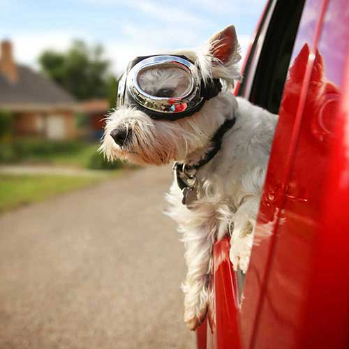 A dog wears goggles and sticks his head out of a car while enjoying the pet taxi service Hot Diggity! provides in the Portland area