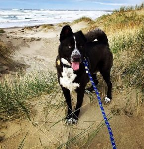 Whitney, a great Portland Dog Walker and Pet Sitter took this cute photo of her rescued dog at the Oregon beach
