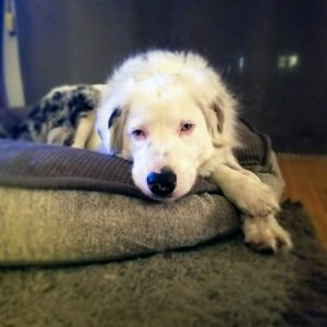 Johnny Cash, a deaf Australian Shepherd with Valley Fever, sits on a couch with his head resting on his paws while staring at the camera. Cash has a disease called Valley Fever and needs help finding a loving Portland home where he can enjoy a happy life and some free Hot Diggity! dog walks.