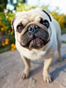 A cute pug stares at the camera, probably enjoying the day with its Portland dog walker
